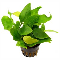 Anubias Nana Gold Bulk Pack of 10 Nos.