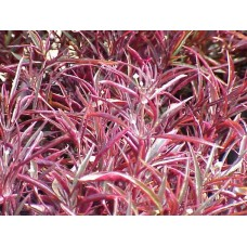 Alternanthera Burgundy