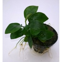 Anubias Nana Bulk Pack of 10 Nos.