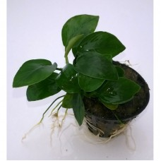 Anubias Nana Bulk Pack of 10 Pots