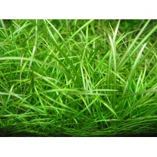 Dwarf Chain Grass Bulk Pack of 100 nos