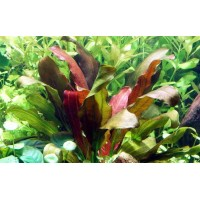 Echinodorus Rose Bulk pack of 10 nos.