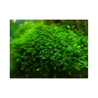 Fissidens sp. Mini 2*2 mat