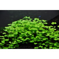 Hydrocotyle Tripartita Bulk Pack of 100 nos