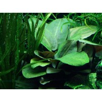 Lagenandra Meeboldii - Green Bulk pack of 10 nos.