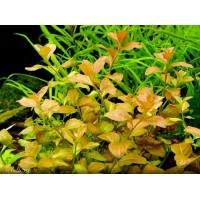 Ludwigia Ovalis Bulk pack of 100