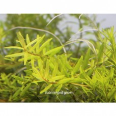 Rotala sp Big Bear