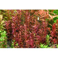Rotala Macranda mini Bulk pack of 100 nos.