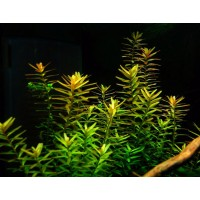 Rotala Rotundifolia - Green