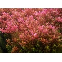 Rotala Rotundifolia - Hi Red