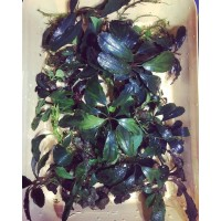 Assorted Bucephalandra Pack of 6 Plants