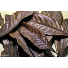 Premium Dried Loquat Leaves (Pack of 10)