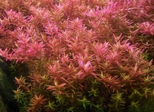 Rotala Rotundifolia Hi Red