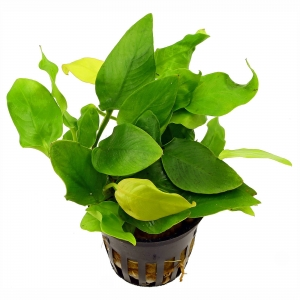 Anubias Nana Gold Bulk of 10 Pots