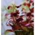 Ludwigia atlantis Dark Orange